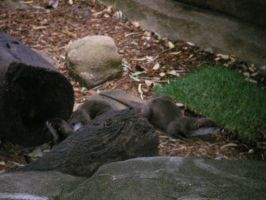 Perth Zoo Otters by TasermonsPartner