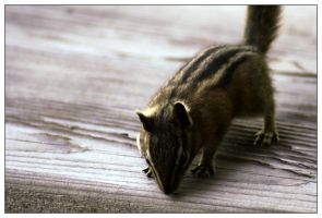 chipmunk by eythan