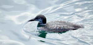 Common Loon by Momenti-Photo