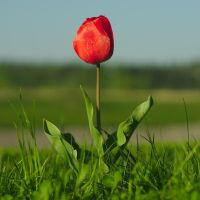 Tulip #1 by perost