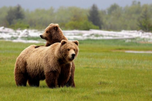 Bear grizzly 8 by bouzid27
