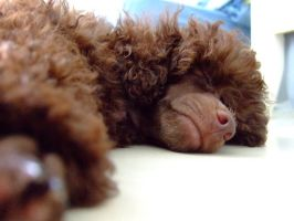 Yoko - my toy poodle by pigshow