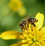 Honey Bee by JMcCarty09