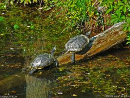 Yellow Bellied sliders by Joseph-W-Johns