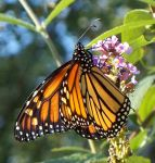 Autumn Traveler Monarch 3 by WalnutHill