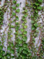 Ivy on the Wall by allison731