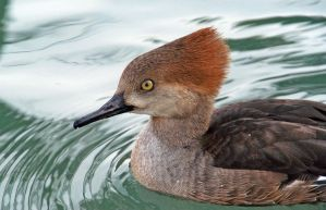 Hooded Merganser 3 by MorrighanGW