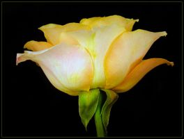 SINGLE YELLOW ROSE by THOM-B-FOTO