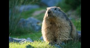 Marmotte by moem-photography