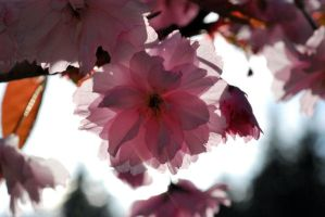 more cherry blossom by Whosle
