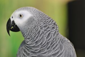 lb1-118 grey parrot1 by bstocked