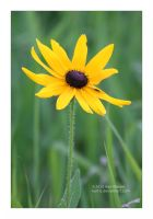Black Eyed Susan by Karl-B