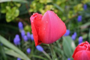 tulips in rain 6 by ingeline-art