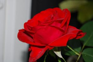red rose III by tigpc
