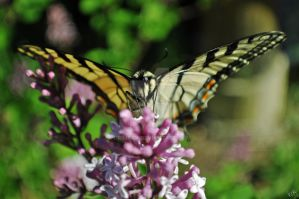 Swallowtail 4 by GrimFay