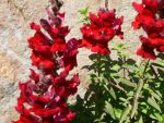 snapdragon by spokanistanman