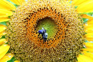 Sunshine Bee by WisteriaPhotography