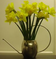 Daffodils by crystal-stock