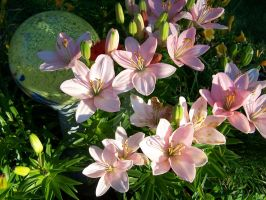 Pink Asiatic Lily 4 by racheltorres921