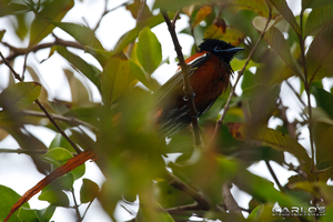 Red-bellied Paradise Flycatcher by Solrac1993