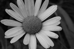 Another Free Daisy by Sister-of-Charity