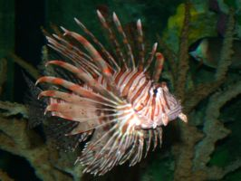 Chinese Lionfish by penginnoikari