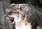 Snow Leopard Stock 31 by HOTNStock