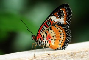 Leopard Lacewing Butterfly by tarheel4life
