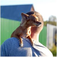 formidable chihuahua by keffi