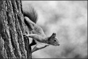 PLWA - Young squirrel by andyshade