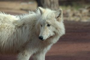 Arctic Wolf by amzimme