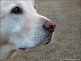 Yellow Lab Portrait by Leonca
