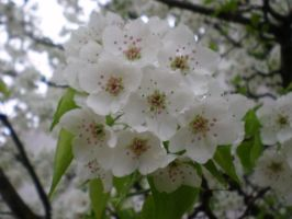 Pyrus Calycarea by A-New-Lesson