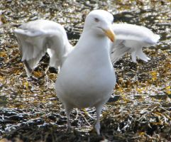 Seagull 1 by Chance-STOCK