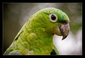 Olive-throated Parakeet. by feudal89