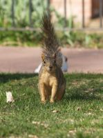 Alerted little squirrel by multigal