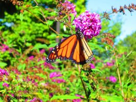 Monarch Love by Michies-Photographyy