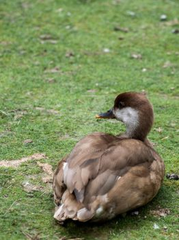 Red-crested pochard by 75ronin