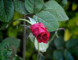Slow opening rose bud by Tailgun2009
