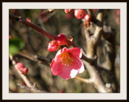 Flowering Quince by FallisPhoto