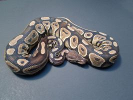 Female Cinnamon Ball Python by ReptileMan27