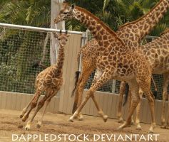 Giraffe 06 by dappledstock