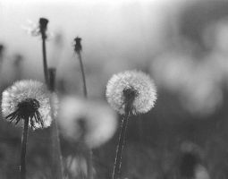 Dandelions by TheBoyWhoLivedIsDead