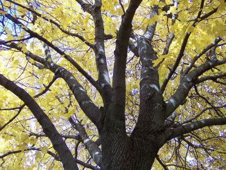 Golden Norway Maple Cat Tree by Crazy10-9
