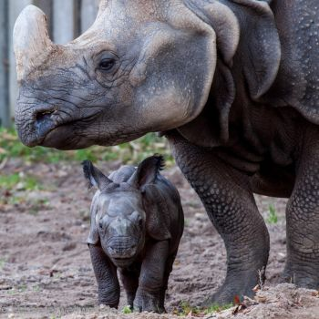 5 days old rhinoceros by Stratege