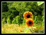 Sunflower Bee by iFix