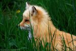 Sweety Fox by Sagittor