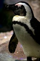 African Penguin II by xXCold-FireXx