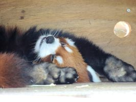 Sleepy Red Panda by itachifan9