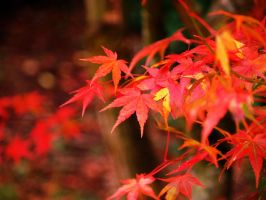 maple of november by crazytmac